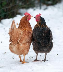 Winter chickens by Stephanie via https://www.omlet.co.uk/guide/Chickens/The+Seasons/winter/