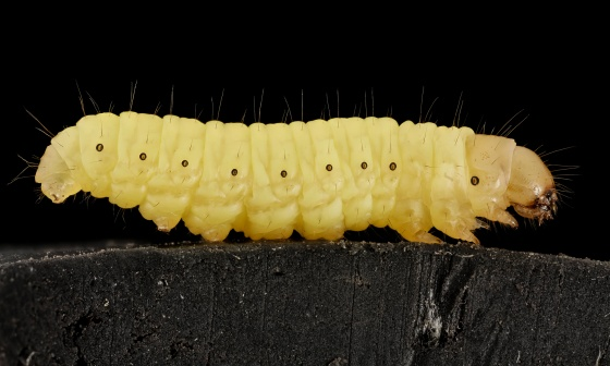 wax worm caterpillar